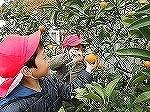 園庭で温州みかんを収穫したよ